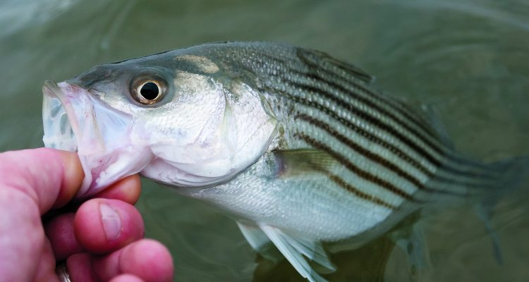 Fisherman reported big numbers of very small stripers this season.