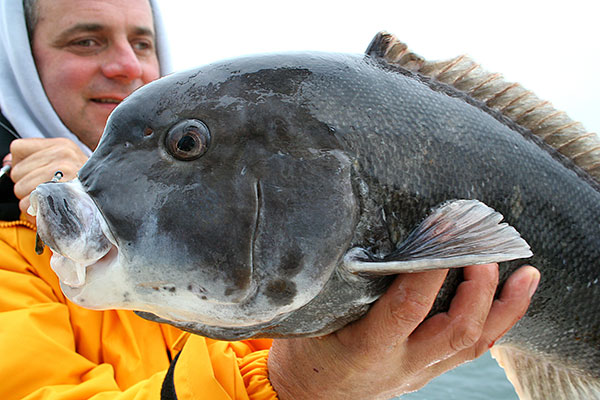 The tautog bite was on fire this fall