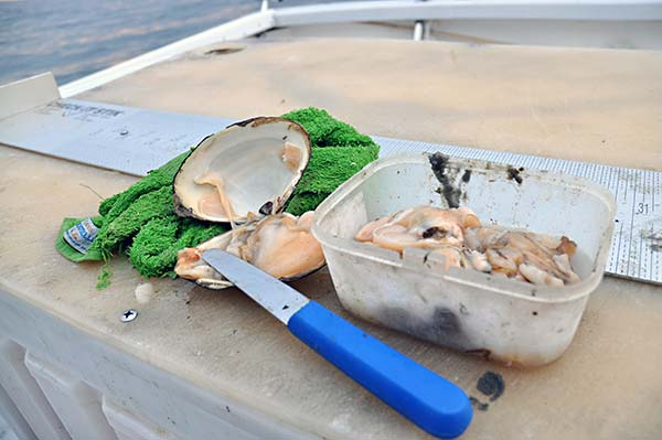 Buy the clams in the shells and shuck each one just before baiting up