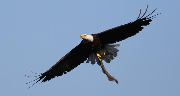 A bald eagle carries a sea lamprey