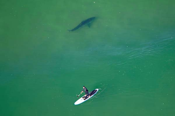 "Davis photographed this paddleboarder off Chatham, Massachusetts, seemingly unaware of the white shark swimming nearby. Days later, the paddleboarder was quoted in a local paper as saying, ""I knew the fish spotter wasn't looking for me."""