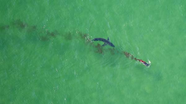 Over eight years of shark spotting, the team has observed relatively few predation events.