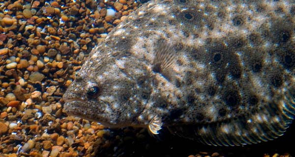 when seeking back-bay keeper flounder, the clearer the water, the better.