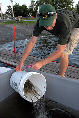 Fisheries biologist Shawn Good loads muskellunge fingerlings into the stocking boat