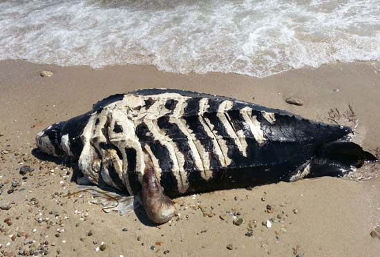 This leatherback washed up at Falmouth Heights/