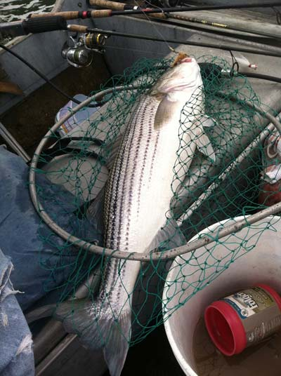 back-bay keeper striper that couldn't resist a clam belly