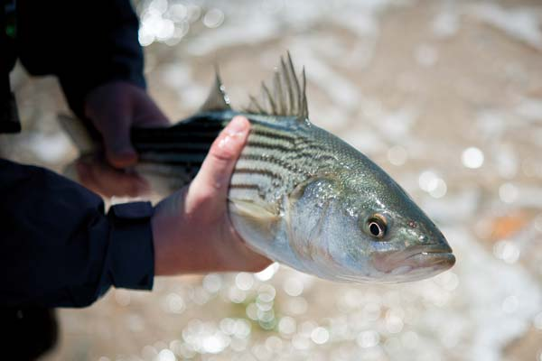 Stripers can be found singly or in small schools
