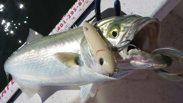 Heddon Super Spook bluefish
