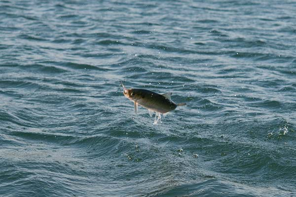 Hickory shad often take to the air