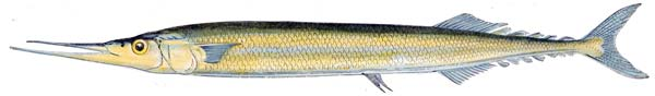 North Atlantic Saury