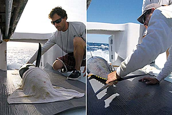 A healthy yellowfin tuna positioned for tagging