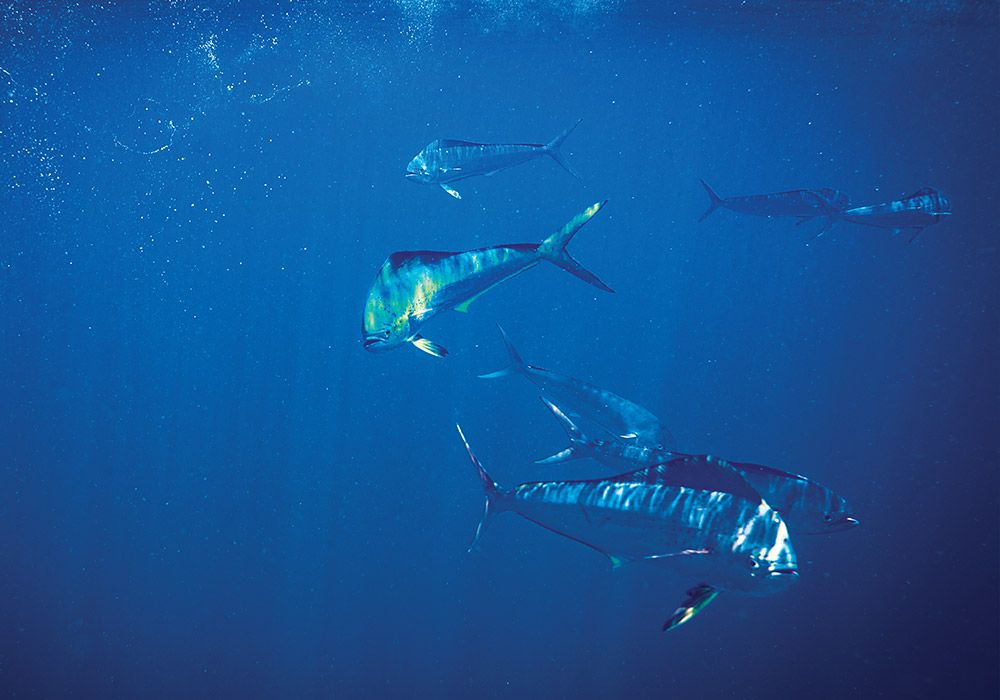 Baits staggered at various depths will tempt fish holding well under the surface.