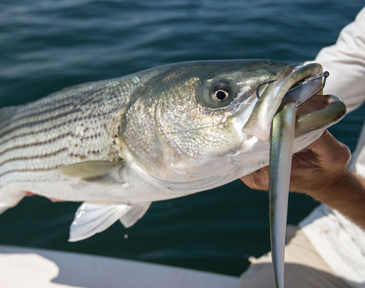 striper on soft plastic with scent