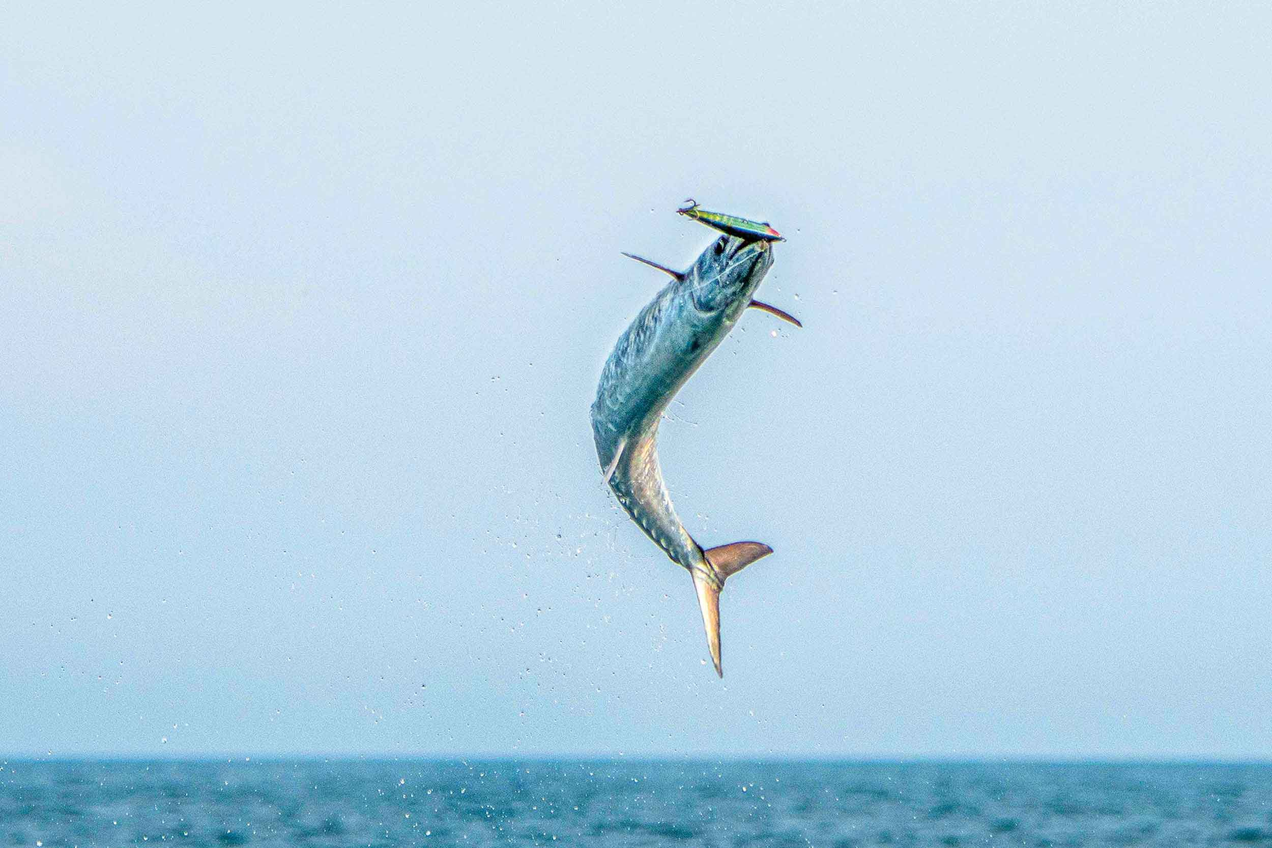 Kings, especially the larger specimens, are famous for skyrocketing during savage attacks on baits and lures, opposite.