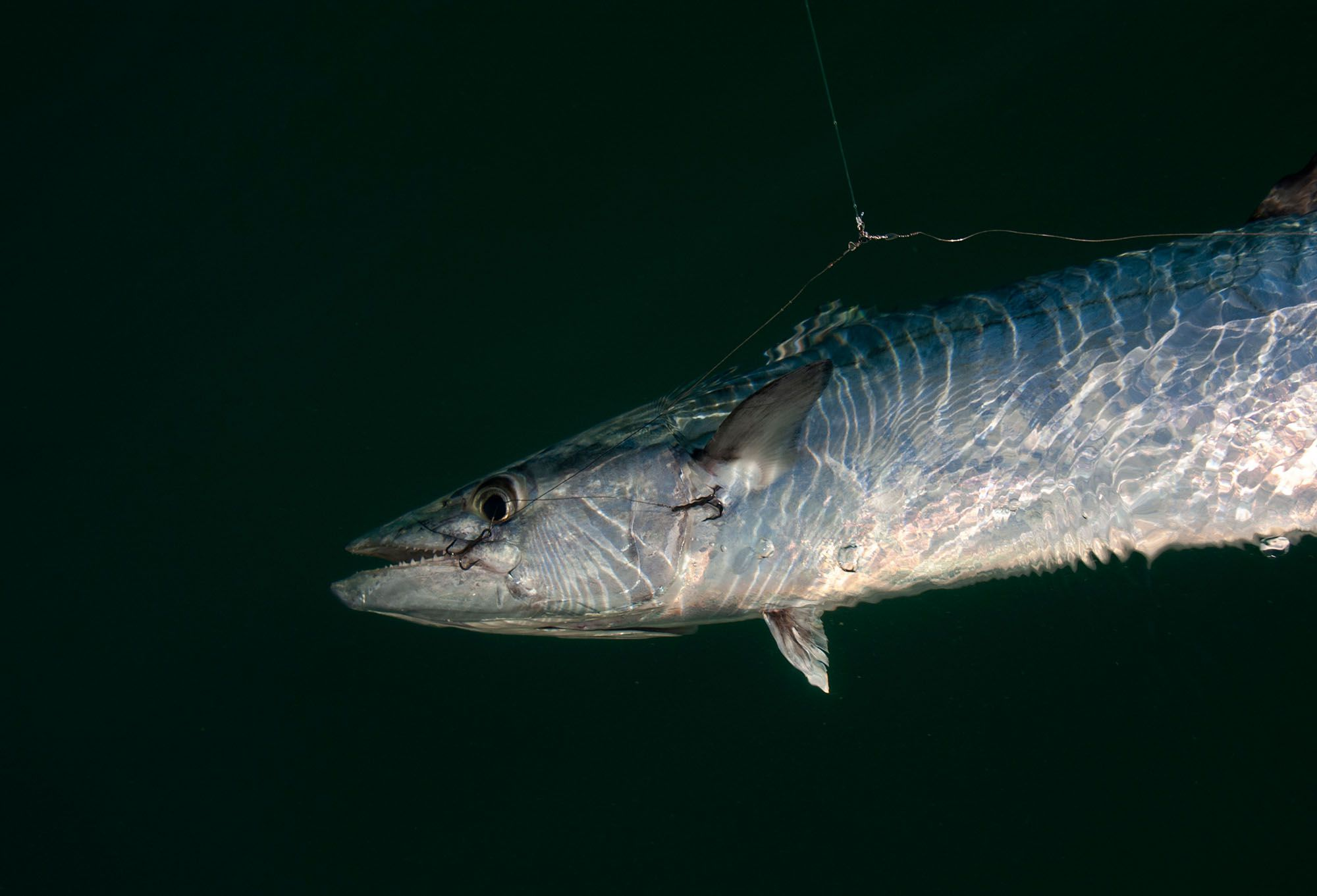 This king mackerel fell victim to a four-hook double-pogy rig.