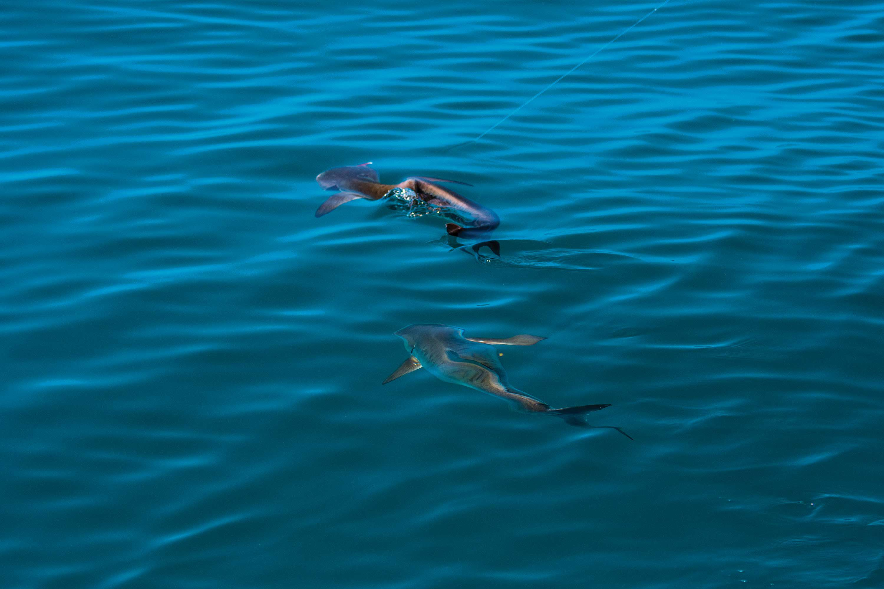 The dogged fight of a hooked cobia is likely to attract others.