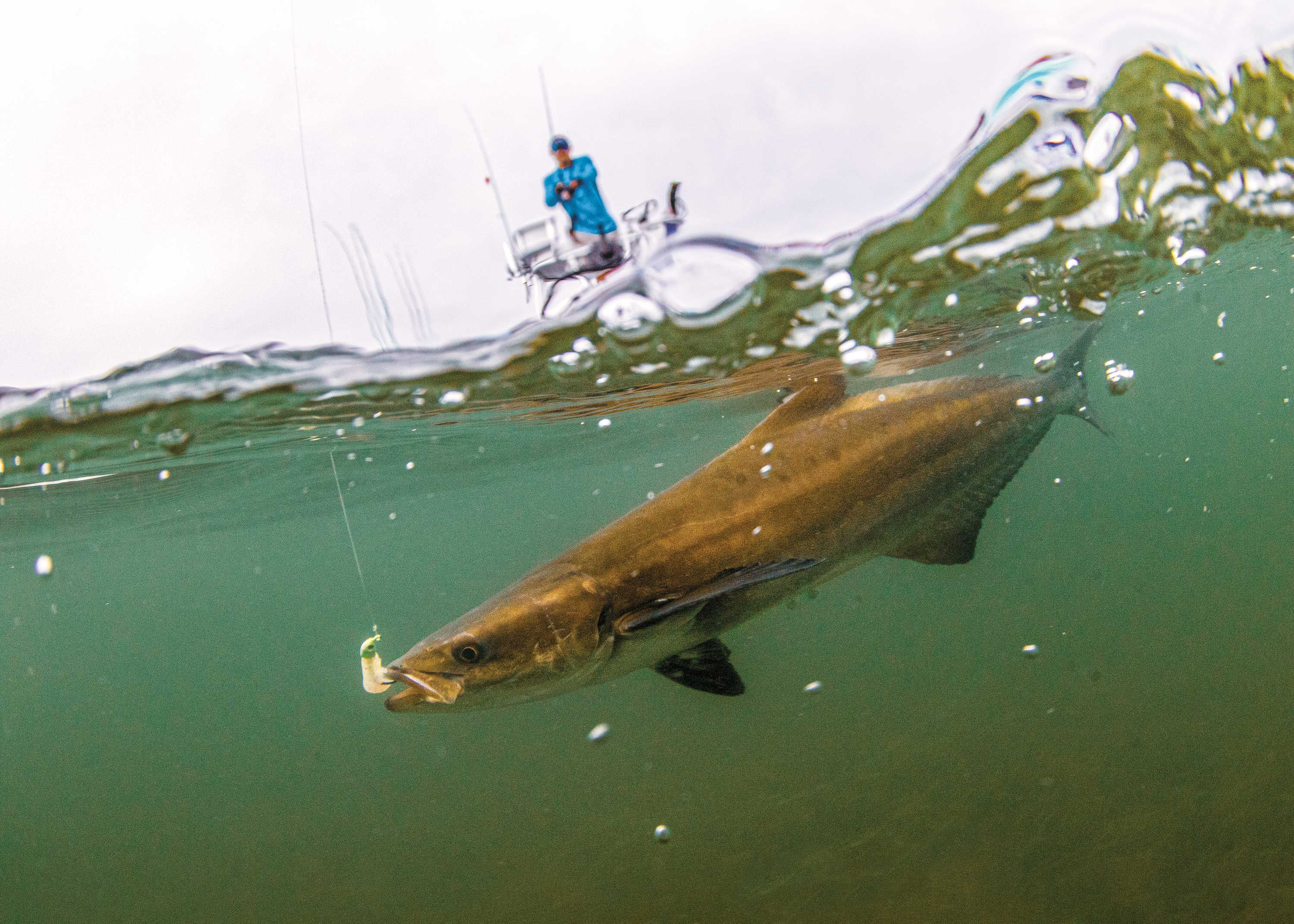 Often inquisitive and gullible, migrating cobia remain a favorite target of nearshore anglers